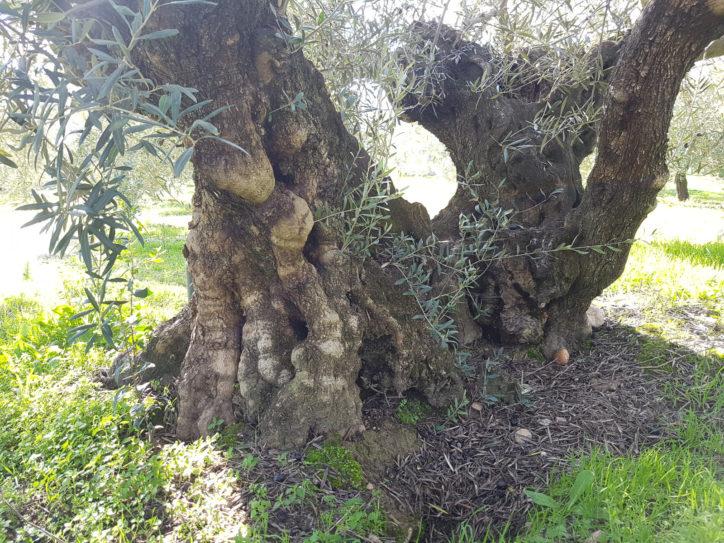 Chueca olivo centenario