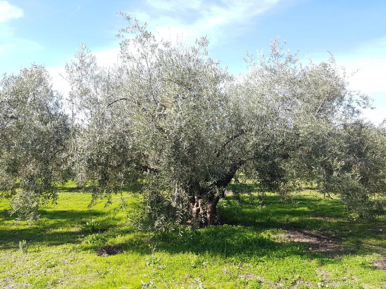 Olivo centenario EVOOke
